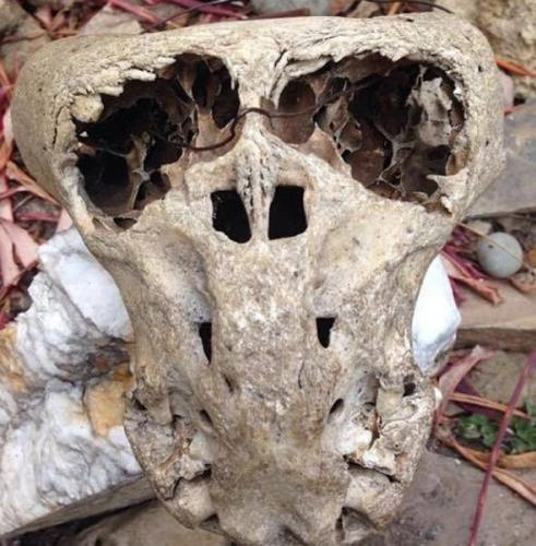 Crânes Ahnenerbe 04.jpg